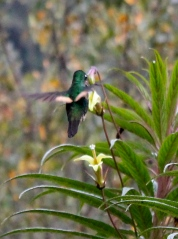 Hummingbirds thrive in Papallacta's climate (as in much of Ecuador)