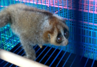 The slow loris, and endangered primate, in the Jakarta Bird Market