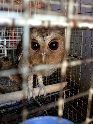 A frightened owl in the Jakarta Bird Market.