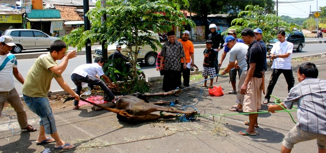 Men slaughter a cow on a busy street in south Jakarta